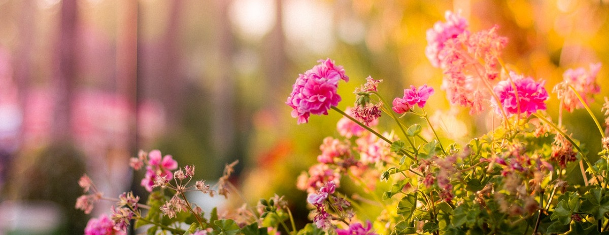 pink flowers in a sunny garden